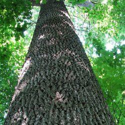 dab-drzewo