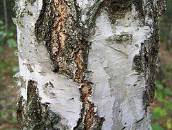 250px-Betula_verrucosa_a1