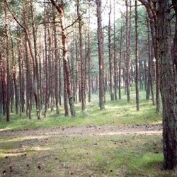 pine_500x333